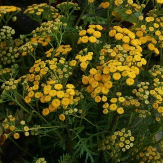 Herb seed - Tansy : Insecticidal properties, tall yellow-flowering perennial.