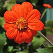 "Tithonia seed - Mexican Sunflower : Vibrant red=orange 2-3"" flowers."