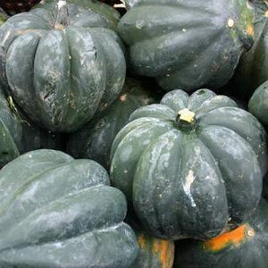 "Organic Winter Squash seeds- Table Queen Bush Acorn: Compact bush plants grow 36"" diameter with 3-8 fruits per plant."