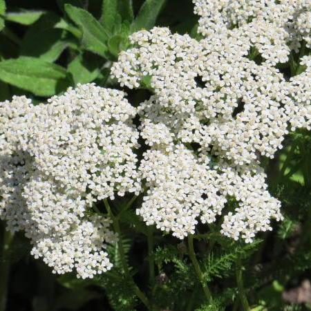 Herb seed - White Yarrow : Dense snow-white flowers with fine ferny leaves.