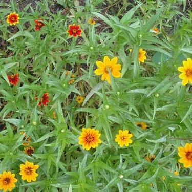 "Zinnia seed- Persian Carpet: 12-16"" tall plants of single & double blooms."
