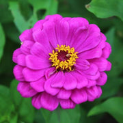 Zinnia seed - Purple Prince : Bright purple double blooms on plants that grow 3' tall.