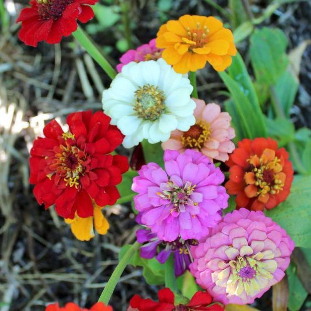 "Zinnia seed- Thumbelina Mix: Dwarf variety with 1.5 "" blooms."
