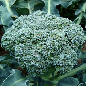 Broccoli seeds Waltham 29, Fall planting, Frost tolerant