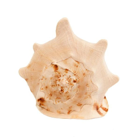 Cassis Shell
