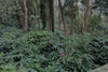 Araku valley coffee farm