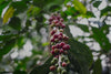 coffee cherry from Marvahulla Estate
