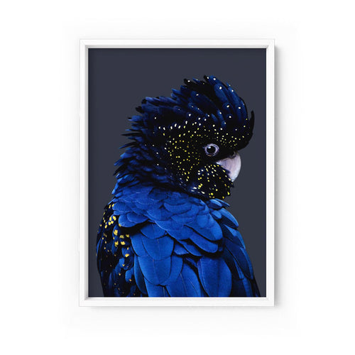 Wall art- Black-Blue Cockatoo Framed/ Unframed Art print (A-222)