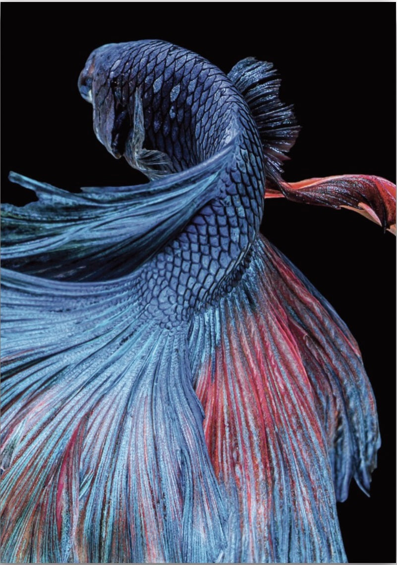 Wall Art Japanese Betta Fighting Fish No 1 A 238 Oz Decor And More