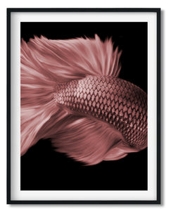 Wall Art -   Fighting Fish In Blush  - Framed / unframed art print (A-768)