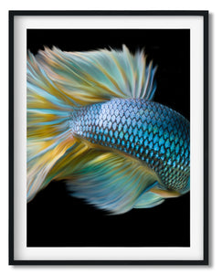Wall art- Colorful Fighting Fish  (A-763)