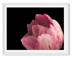 Wall Art - Classic Peony on Black  - Framed / unframed art print (A-282)