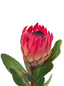 Wall Art - Protea On White- (A-660)