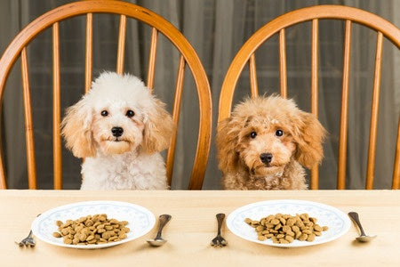 Two poodles waiting for their supper