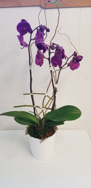 Orchid Plant, Florist's Best Variety