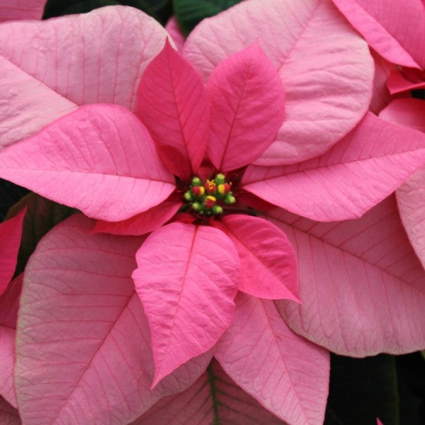 Poinsettia Wrapped In Christmas Paper