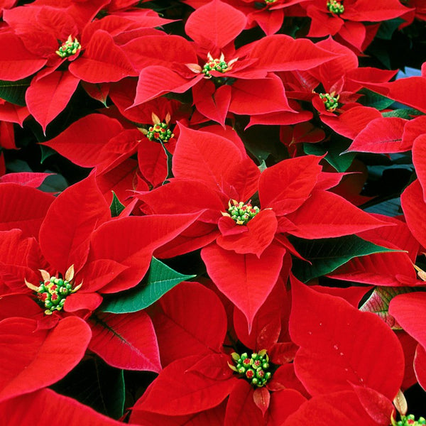 Poinsettia in Ceramic Pot