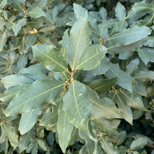 Load image into Gallery viewer, Ground Laurel Bay Leaves