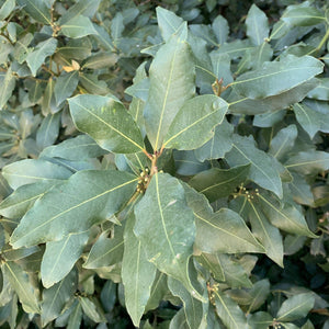 Laurel Bay Leaves