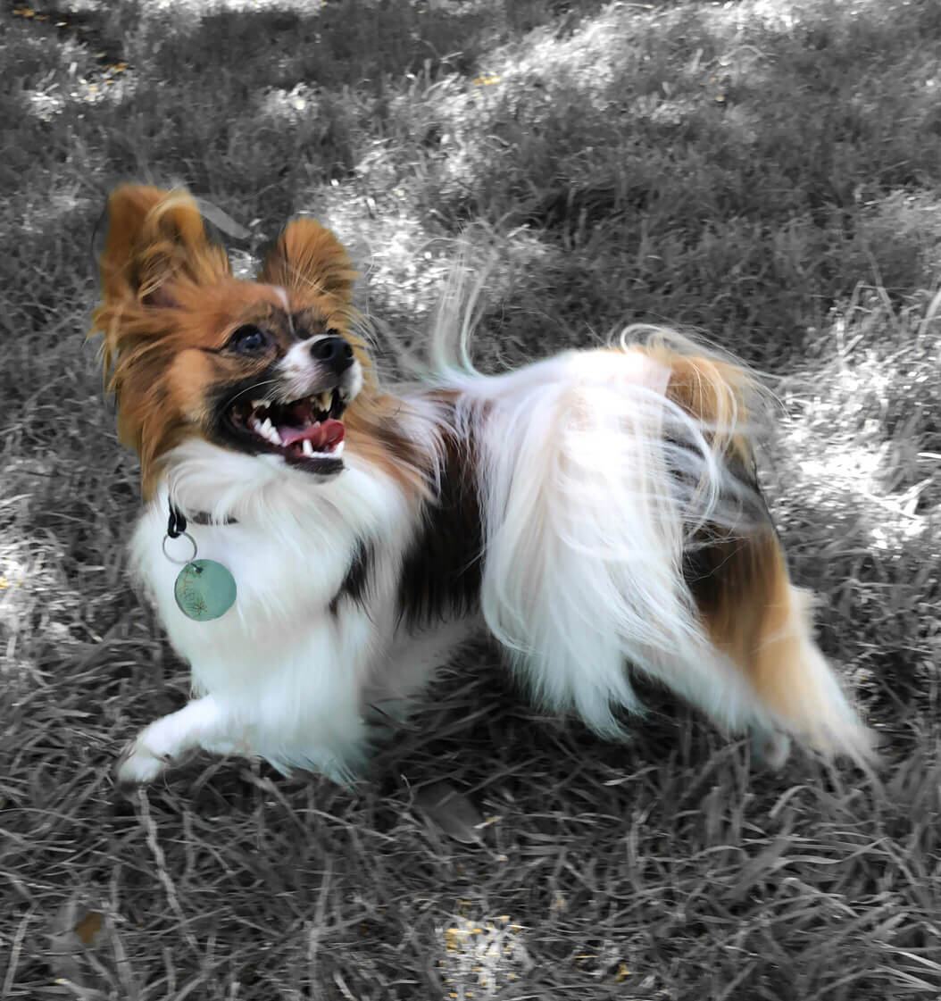 Brown and white papillon wearing turquoise round ceramic dog tag