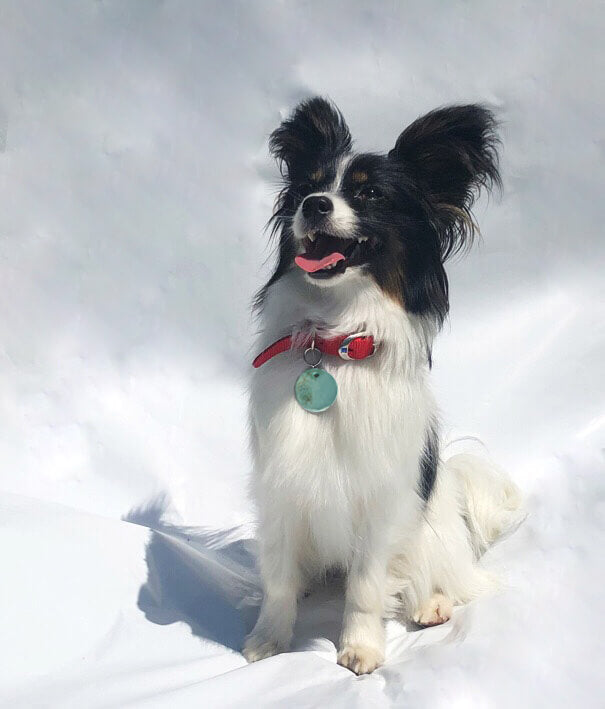 Black and white papillon wearing turquoise ceramic dog tag
