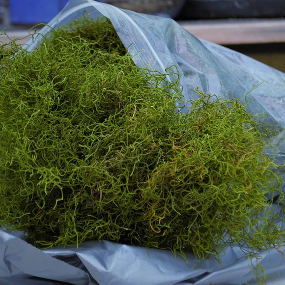 Alpine Tree Moss -