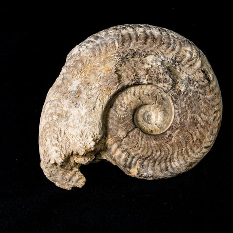Ammonite - Harpoceras falcifer