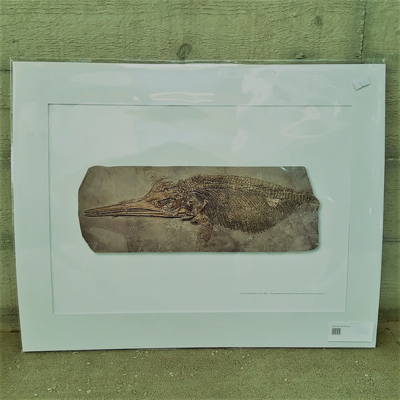 Ichthyosaur with a Full Belly - A3 Unmounted Print