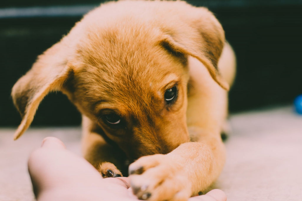 6 Things to Do Before You Adopt a Puppy