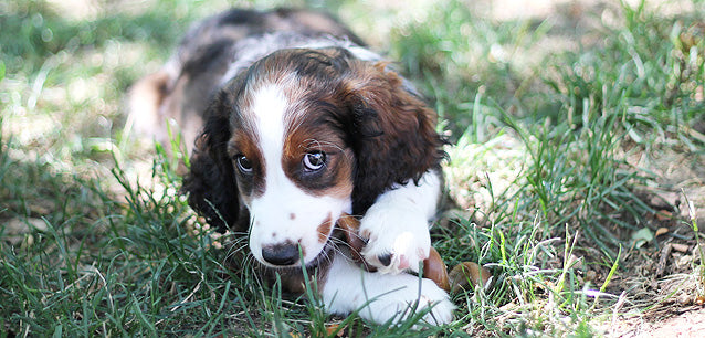 This English Springer Spaniel puppy loves her curly bully stick!