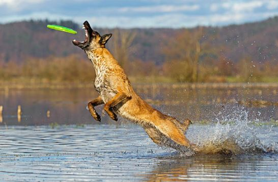 Belgian malinois catching frisbee in shallow water
