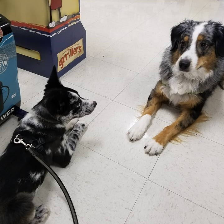 banksy and koolie puppies learning socialization in a pet store