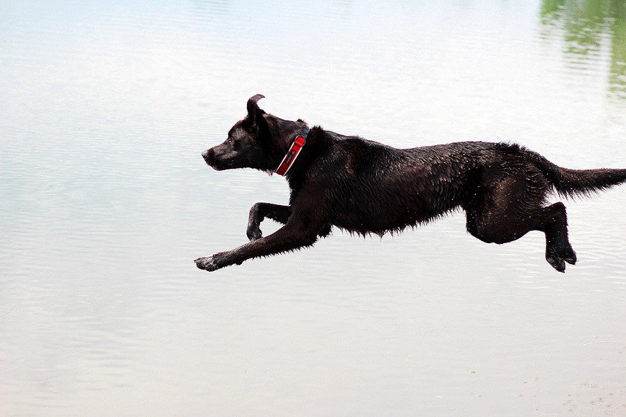 black lab diving off of dock