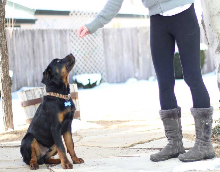 owner with treat training a puppy bowser rottweiler to sit