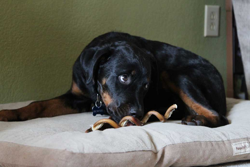bowser_rottweiler_puppy_worried_bullystick_web.jpg