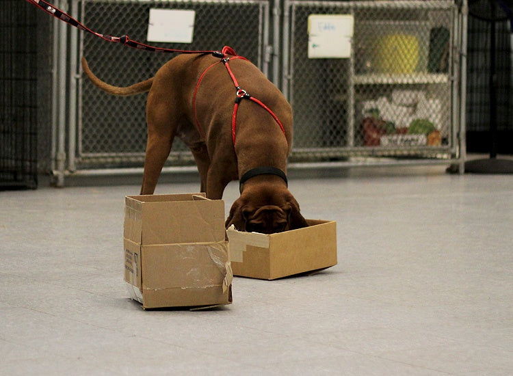 coonhound doing nosework with boxes