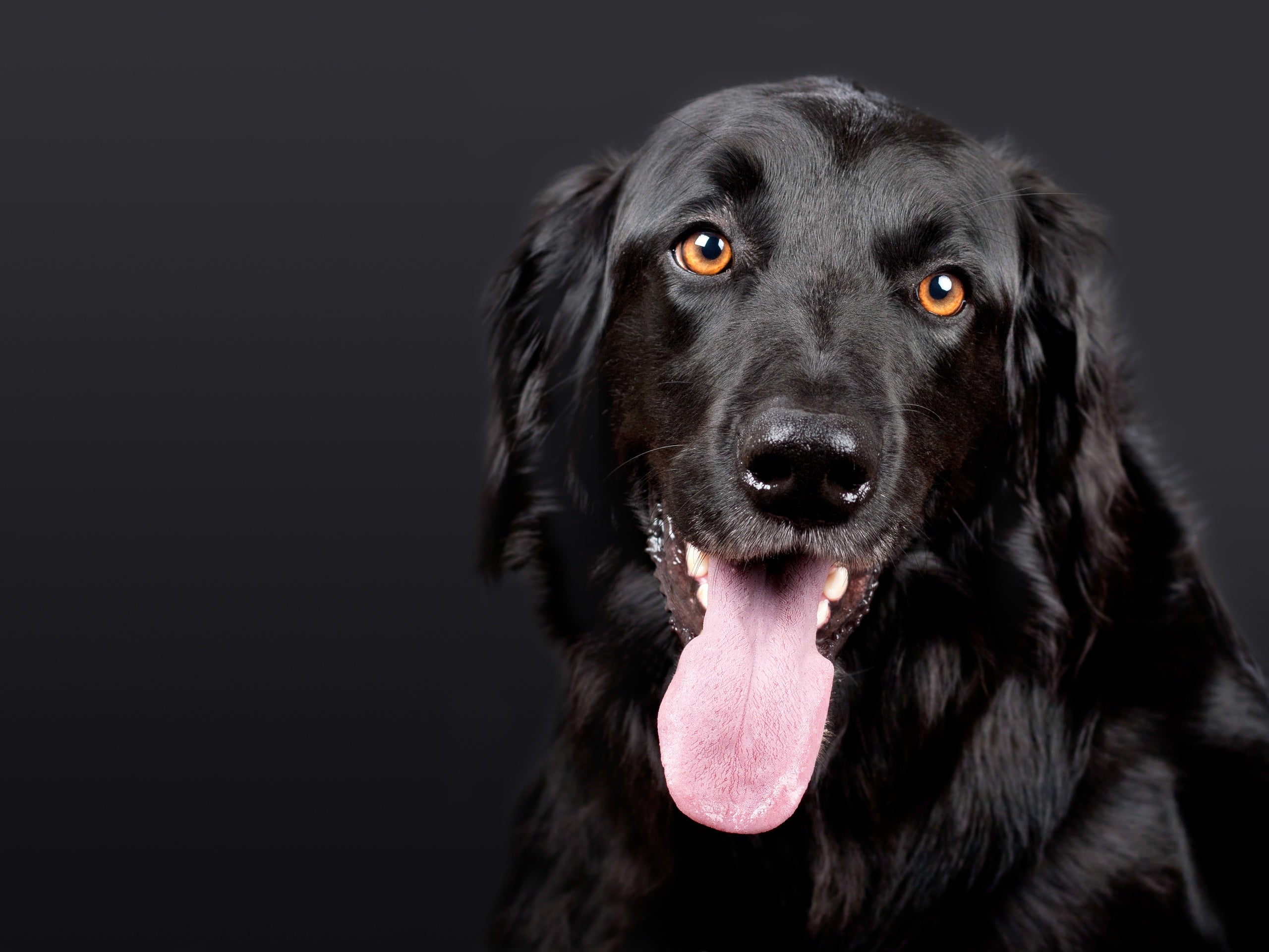 black lab with tongue out looking at camera and treats for medium-sized dogs