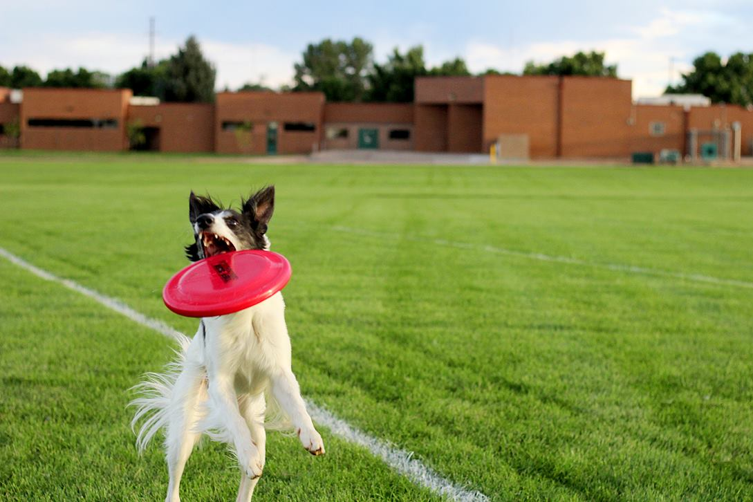 dog catching frisbee in field
