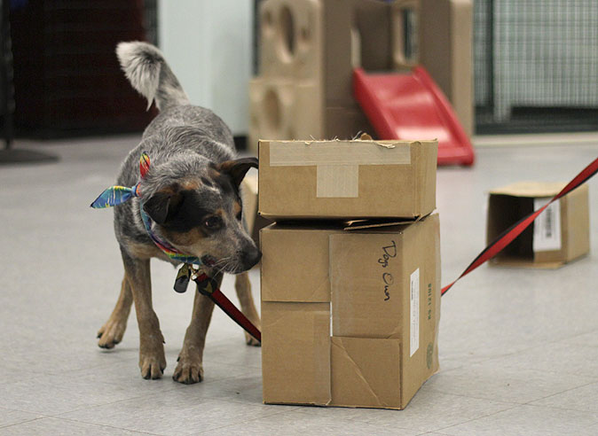 dog sniffing around cardboard boxes in kennel room