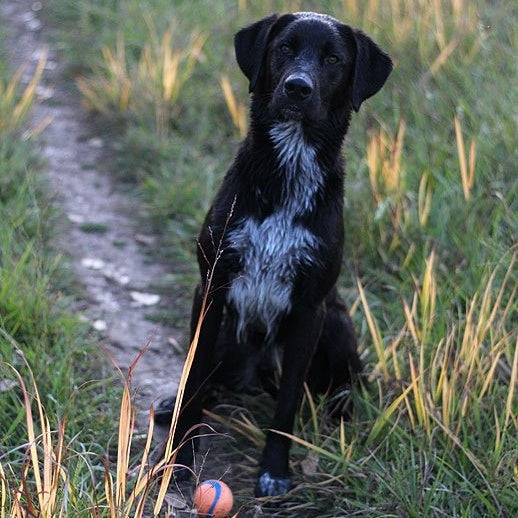 dog with ball in grass waiting-309593-edited