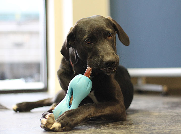 Friday playing with West Pay Qwizl one of the best toys for large dogs