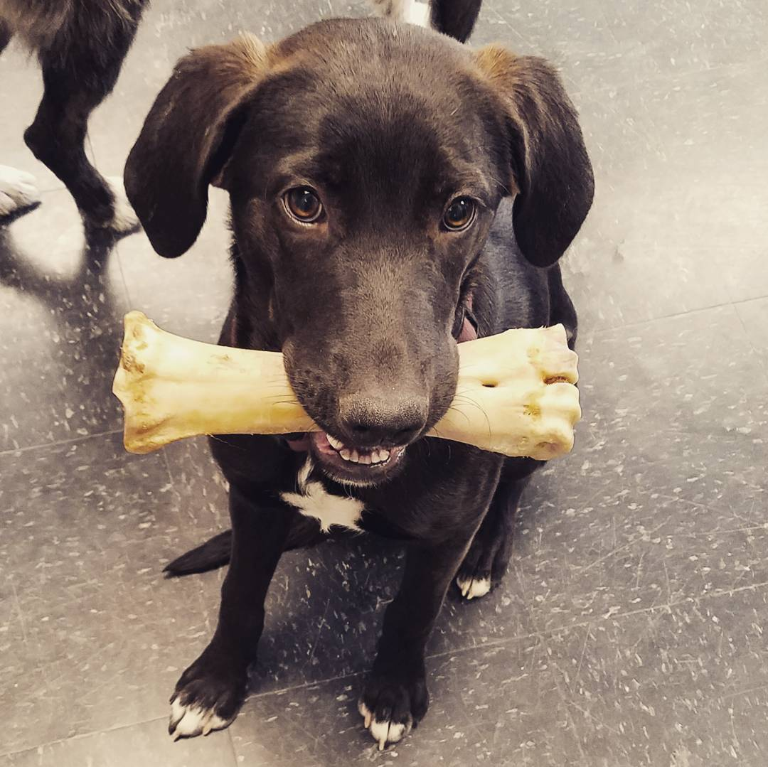 Friday the 6-month old Labrador-mix puppy learns puppy training essentials with long-lasting bone chew