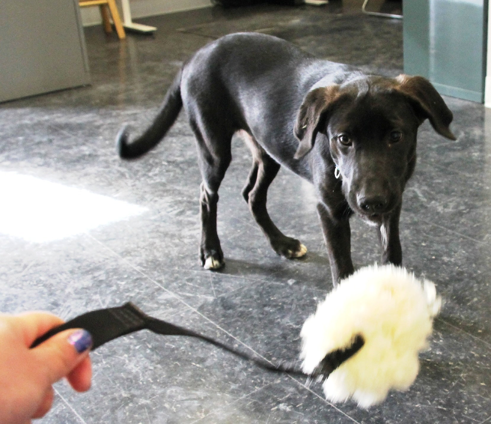 Puppy being distracted by plush toy on a leash learning puppy training essentials