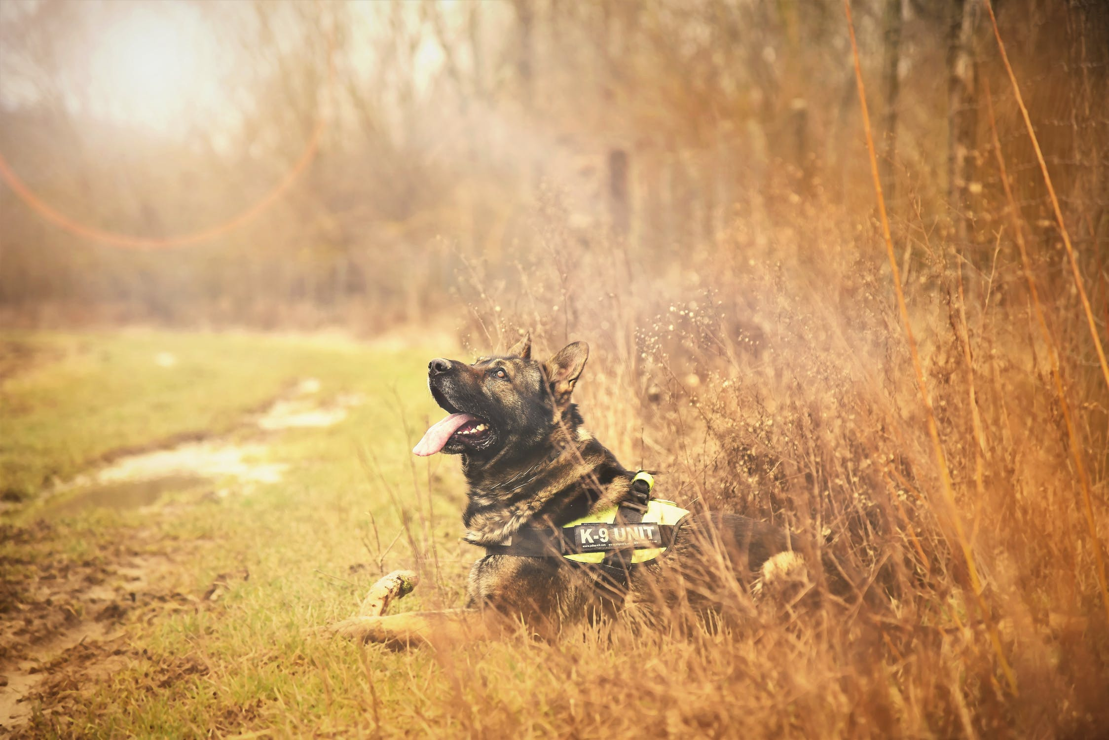 german shepherd in tall grass wearing vest