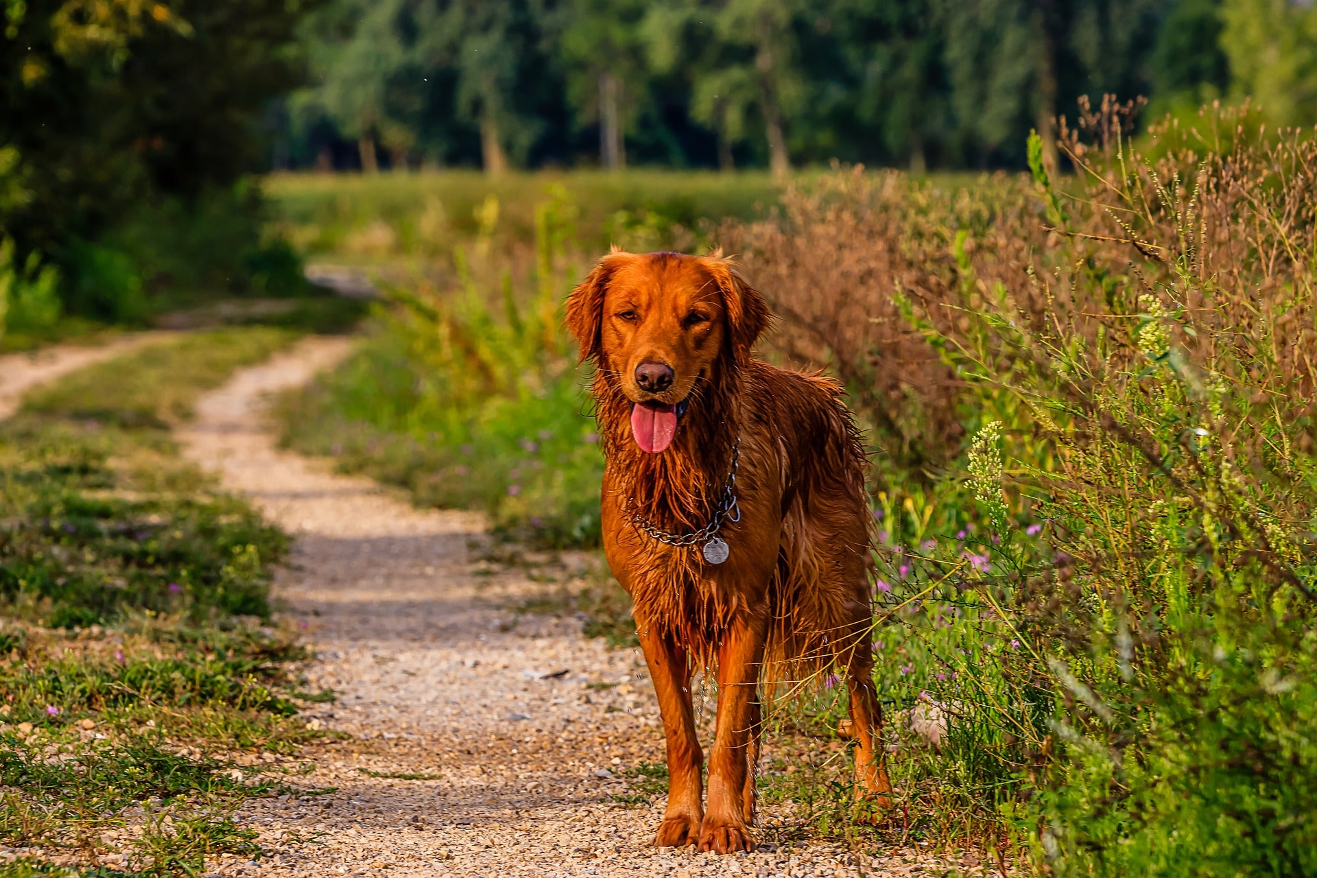 golden retriever standing on dirt path