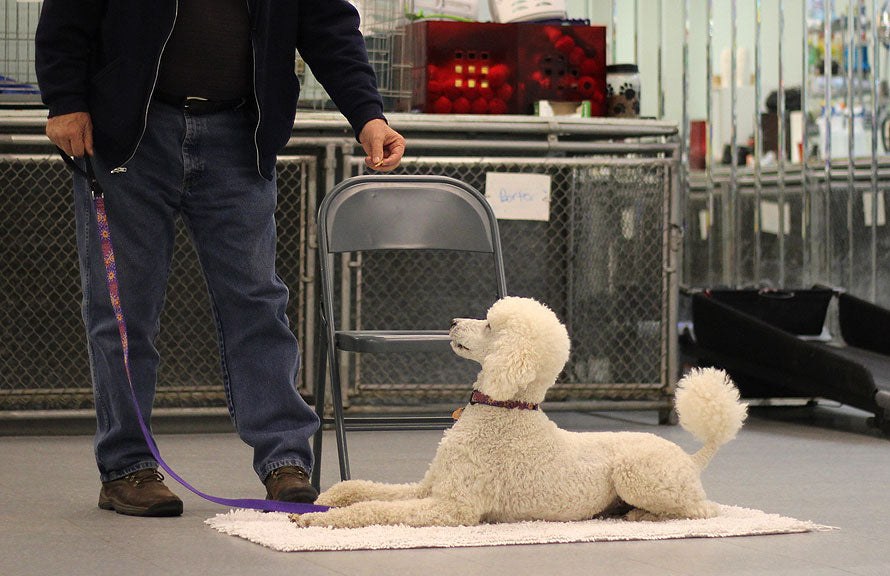 poodle being trained on mat