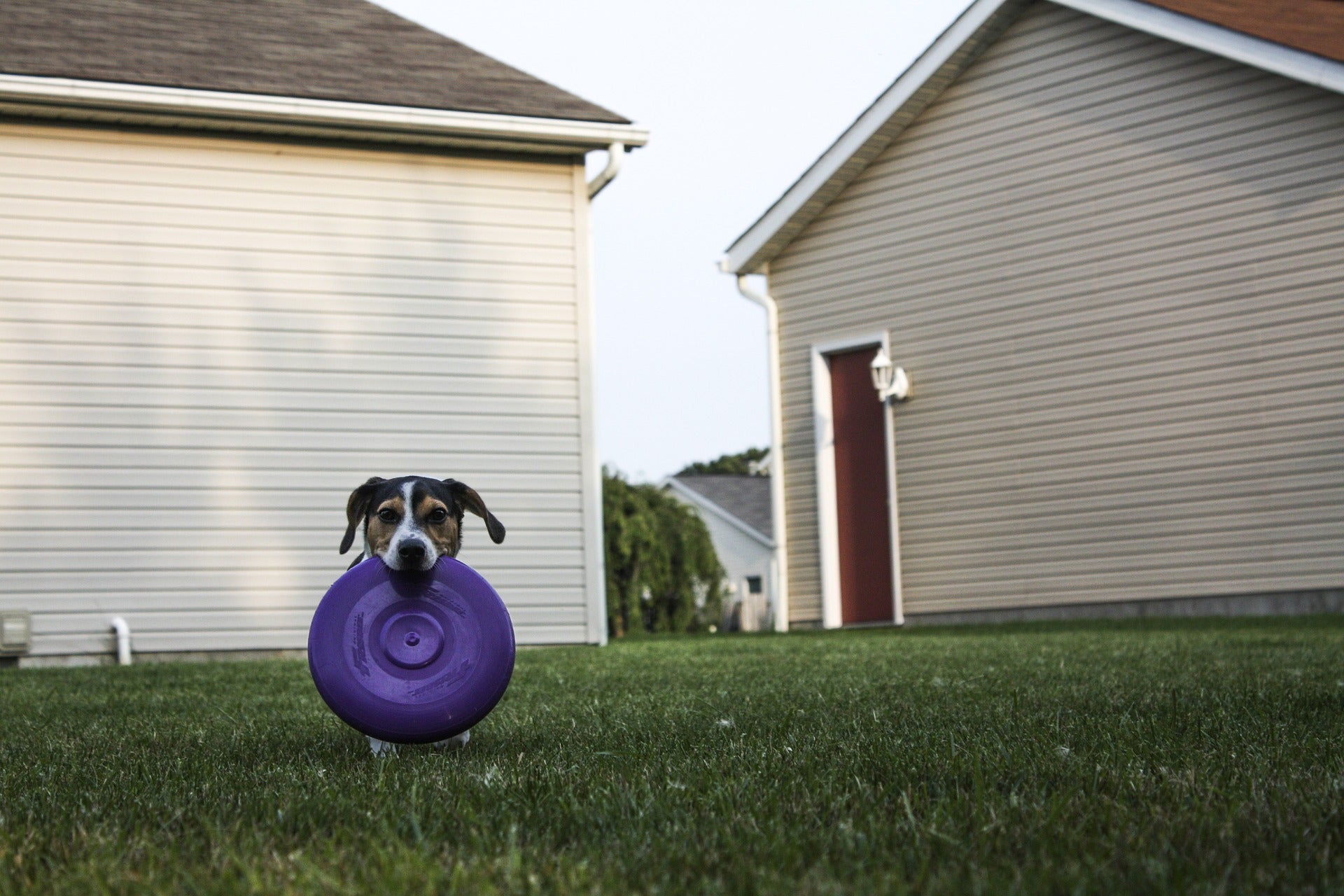 small dog fetching frisbee