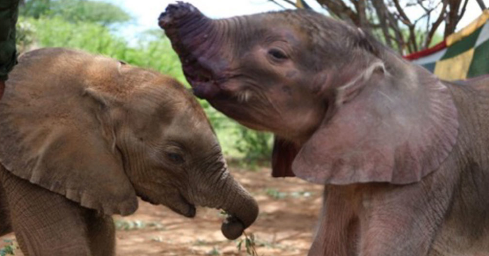 Meet 2 Rescued Baby Elephants