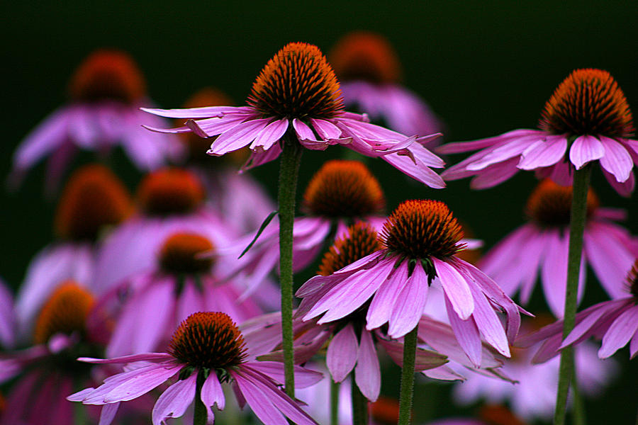 Important Facts About ECHINACEA