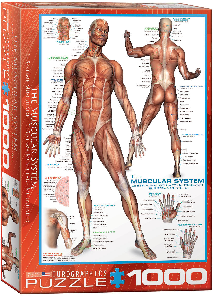 The Muscular System - Hobby Sense
